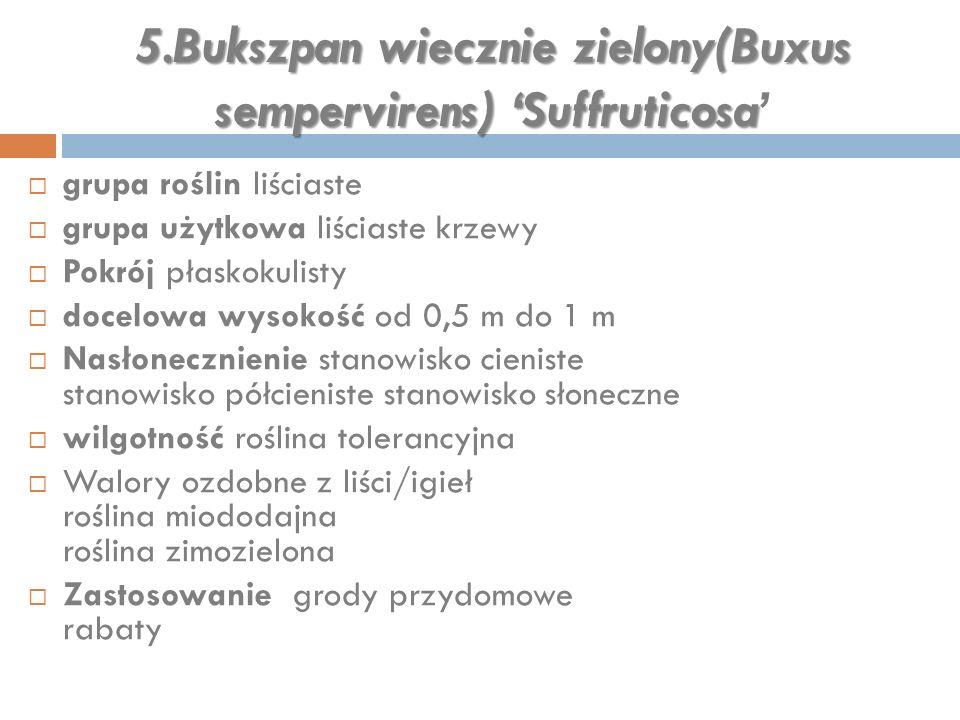 5.Bukszpan wiecznie zielony(Buxus sempervirens) 'Suffruticosa 5.Bukszpan wiecznie zielony(Buxus sempervirens) 'Suffruticosa'  grupa roślin liściaste
