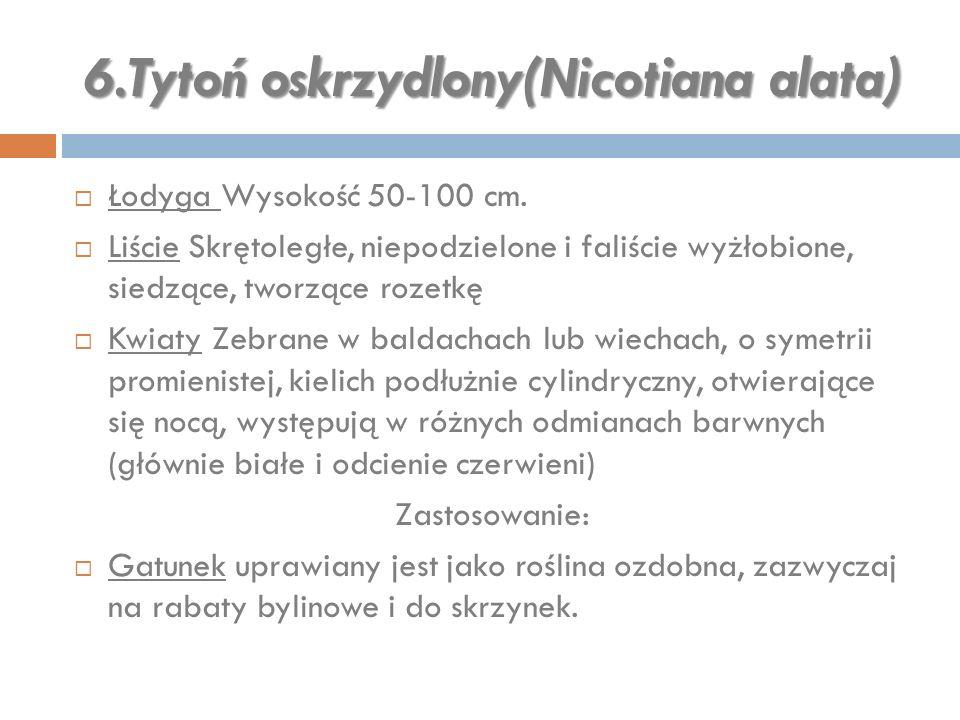 6.Tytoń oskrzydlony(Nicotiana alata)  Łodyga Wysokość 50-100 cm.  Liście Skrętoległe, niepodzielone i faliście wyżłobione, siedzące, tworzące rozetk