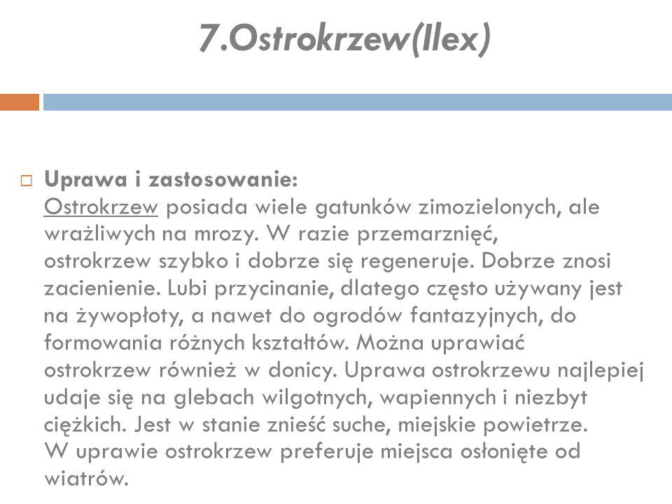 7.Ostrokrzew(Ilex)  Uprawa i zastosowanie: Ostrokrzew posiada wiele gatunków zimozielonych, ale wrażliwych na mrozy. W razie przemarznięć, ostrokrzew