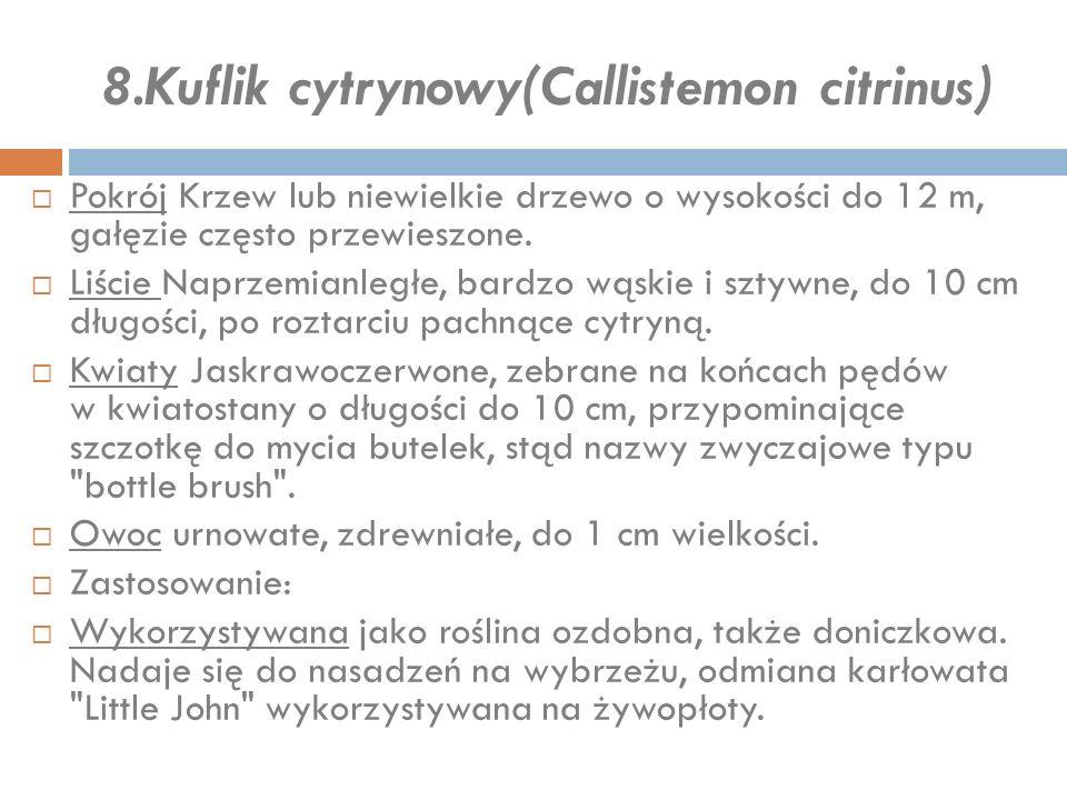 8.Kuflik cytrynowy(Callistemon citrinus)  Pokrój Krzew lub niewielkie drzewo o wysokości do 12 m, gałęzie często przewieszone.  Liście Naprzemianleg