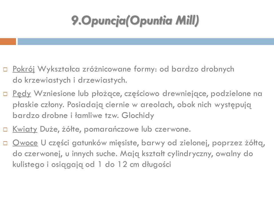 9.Opuncja(Opuntia Mill)  Pokrój Wykształca zróżnicowane formy: od bardzo drobnych do krzewiastych i drzewiastych.  Pędy Wzniesione lub płożące, częś