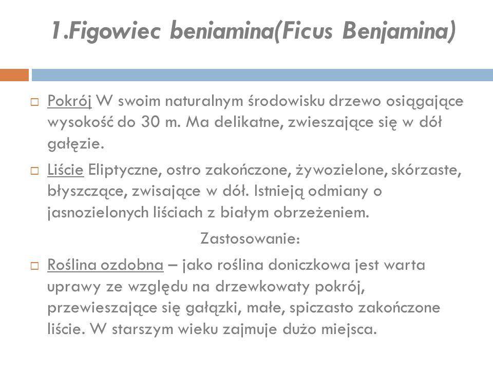 1.Figowiec beniamina(Ficus Benjamina) Zastosowanie:  Roślina ozdobna – jako roślina doniczkowa jest warta uprawy ze względu na drzewkowaty pokrój, przewieszające się gałązki, małe, spiczasto zakończone liście.