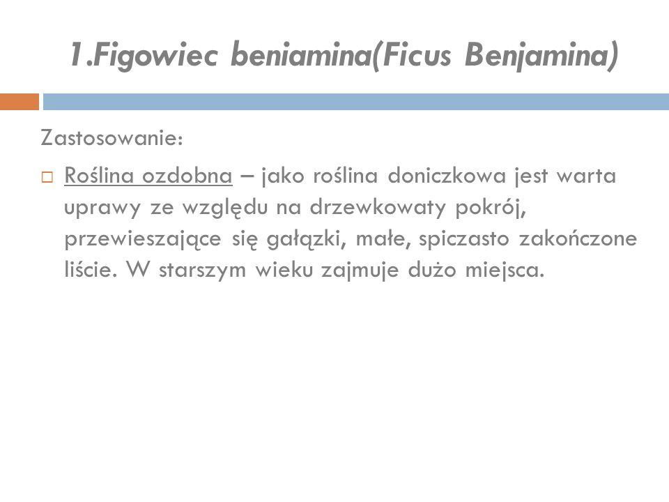 1.Figowiec beniamina(Ficus Benjamina) Zastosowanie:  Roślina ozdobna – jako roślina doniczkowa jest warta uprawy ze względu na drzewkowaty pokrój, pr