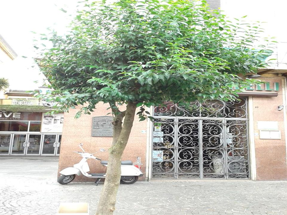3.Klon pospolity(Acer platanoides) 'Royal Red'  grupa roślin liściaste  grupa użytkowa liściaste drzewa  pokrój nieregularny  docelowa wysokość od 15 m do 20 m  barwa liści (igieł) czerwone i purpurowe  barwa kwiatów żółte  pora kwitnienia kwiecień  Owoce skrzydlaki  pora owocowania sierpień  Nasłonecznienie stanowisko słoneczne  rodzaj gleby przeciętna ogrodowa  Walory odporność na zanieczyszczenia ozdobne z liści/igieł  Zastosowanie parki zieleń publiczna