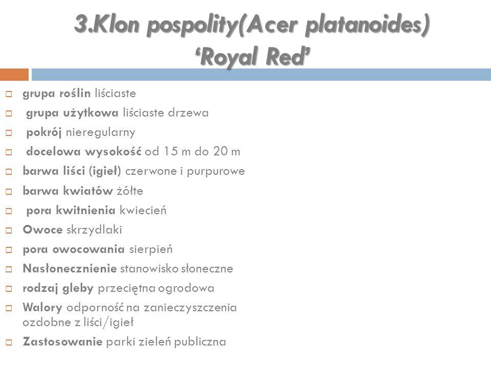 3.Klon pospolity(Acer platanoides) 'Royal Red'  grupa roślin liściaste  grupa użytkowa liściaste drzewa  pokrój nieregularny  docelowa wysokość od