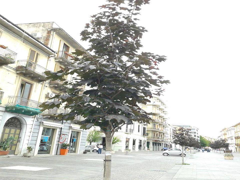 7.Ostrokrzew(Ilex)  Pokrój Drzewa lub krzewy.