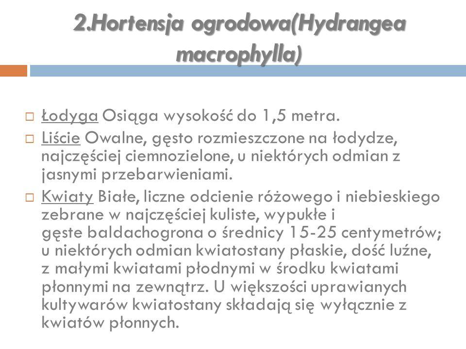 2.Hortensja ogrodowa(Hydrangea macrophylla )  Łodyga Osiąga wysokość do 1,5 metra.  Liście Owalne, gęsto rozmieszczone na łodydze, najczęściej ciemn