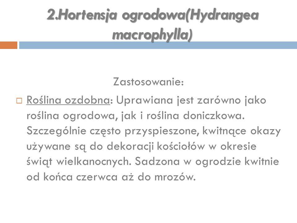 2.Hortensja ogrodowa(Hydrangea macrophylla ) Zastosowanie:  Roślina ozdobna: Uprawiana jest zarówno jako roślina ogrodowa, jak i roślina doniczkowa.