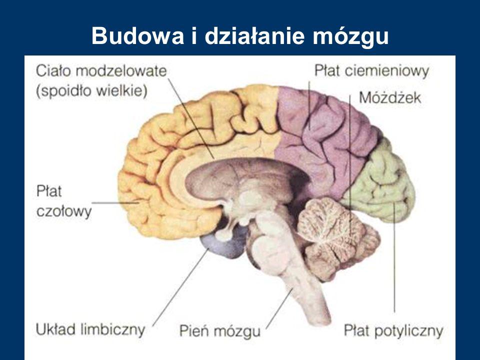 Budowa i działanie mózgu