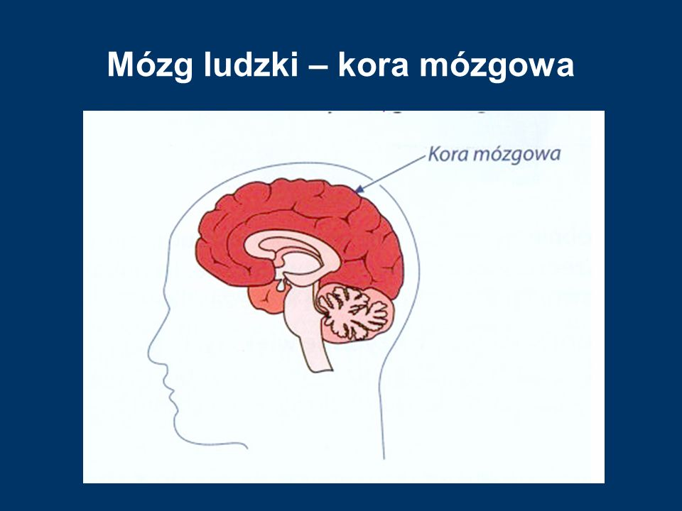 52 Mózg ludzki – kora mózgowa