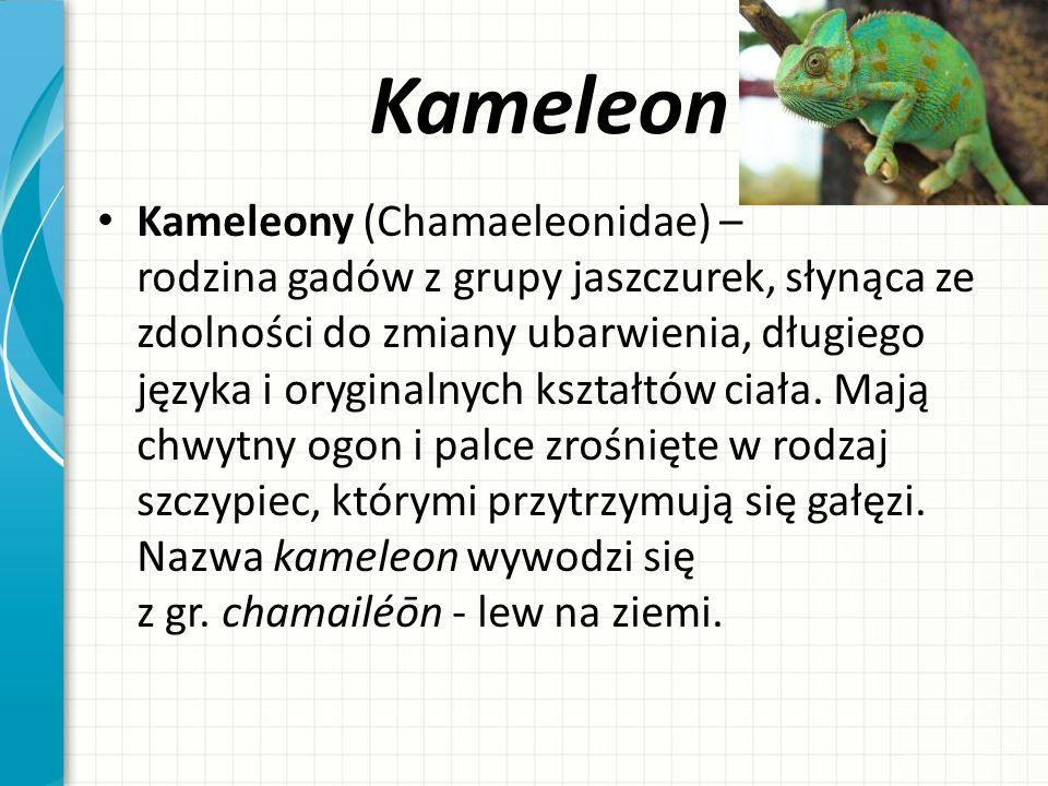 Kameleon Kameleony (Chamaeleonidae) – rodzina gadów z grupy jaszczurek, słynąca ze zdolności do zmiany ubarwienia, długiego języka i oryginalnych kszt