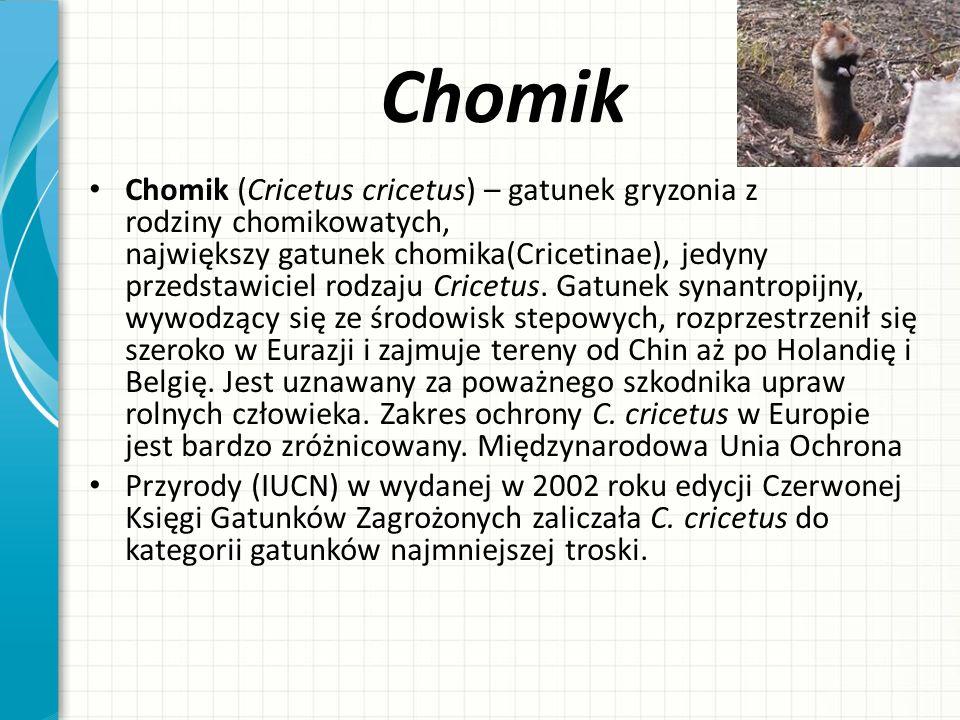 Chomik Chomik (Cricetus cricetus) – gatunek gryzonia z rodziny chomikowatych, największy gatunek chomika(Cricetinae), jedyny przedstawiciel rodzaju Cr