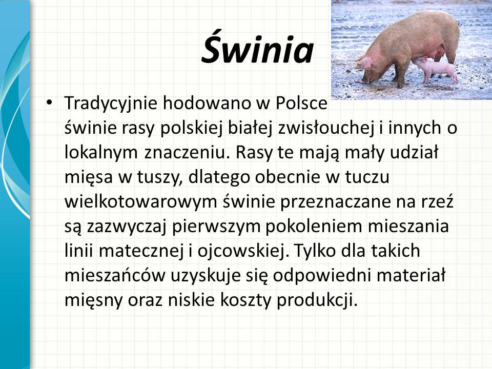 Świnia Tradycyjnie hodowano w Polsce świnie rasy polskiej białej zwisłouchej i innych o lokalnym znaczeniu. Rasy te mają mały udział mięsa w tuszy, dl