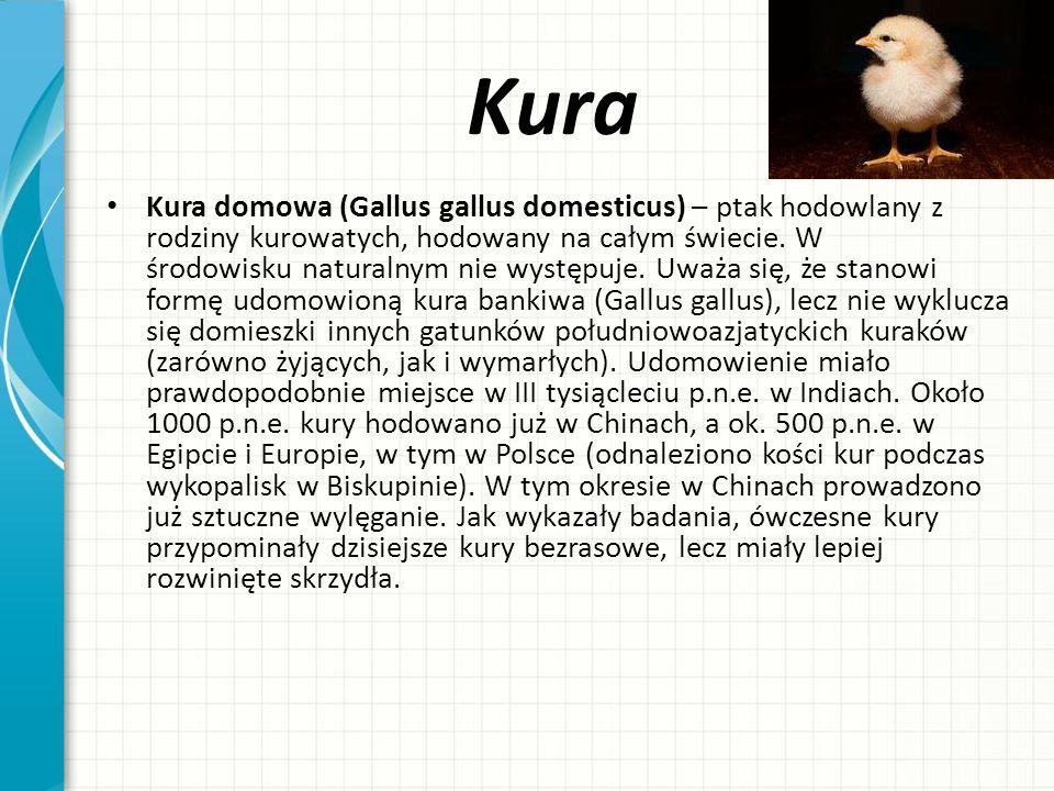Kura Kura domowa (Gallus gallus domesticus) – ptak hodowlany z rodziny kurowatych, hodowany na całym świecie. W środowisku naturalnym nie występuje. U