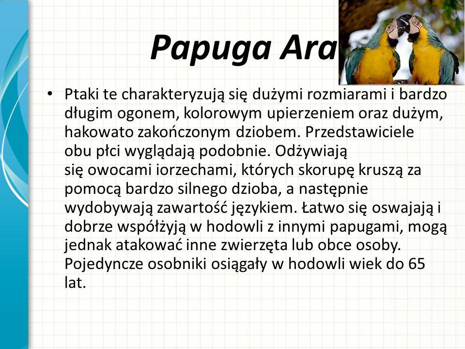 Papuga Ara Ptaki te charakteryzują się dużymi rozmiarami i bardzo długim ogonem, kolorowym upierzeniem oraz dużym, hakowato zakończonym dziobem. Przed