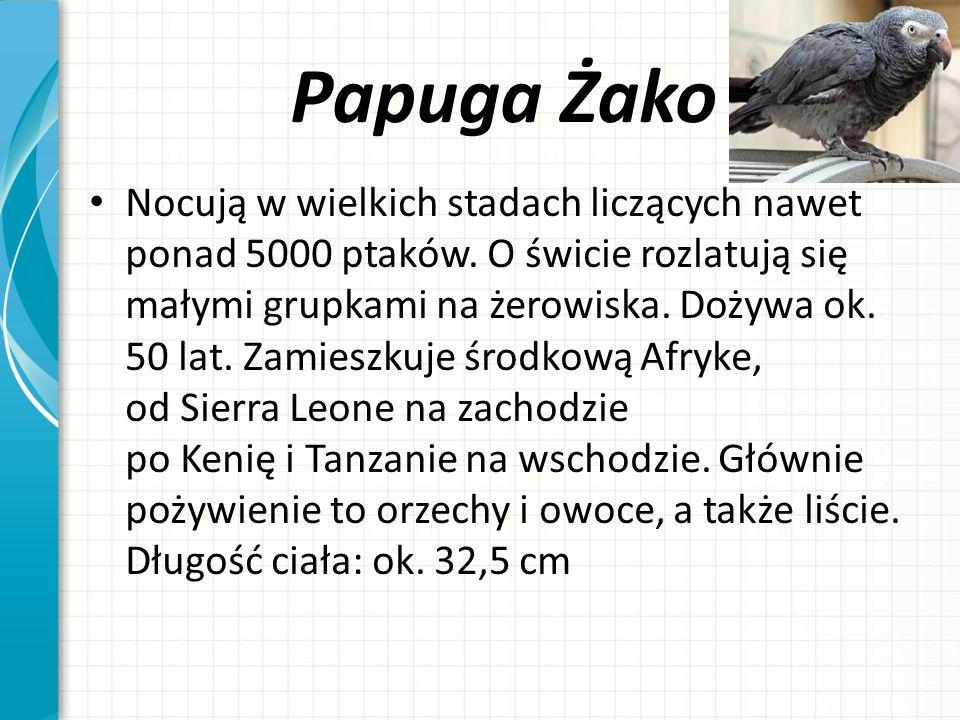 Papuga Żako Nocują w wielkich stadach liczących nawet ponad 5000 ptaków. O świcie rozlatują się małymi grupkami na żerowiska. Dożywa ok. 50 lat. Zamie