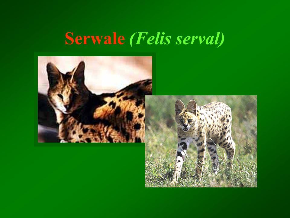 Serwale (Felis serval)