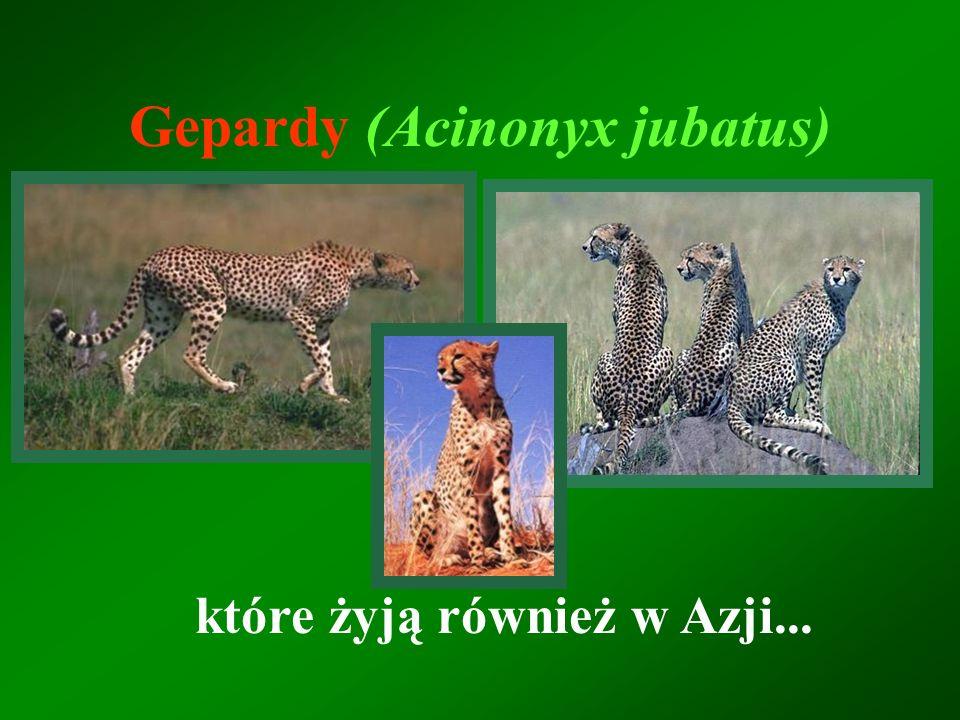 Gepardy (Acinonyx jubatus) które żyją również w Azji...