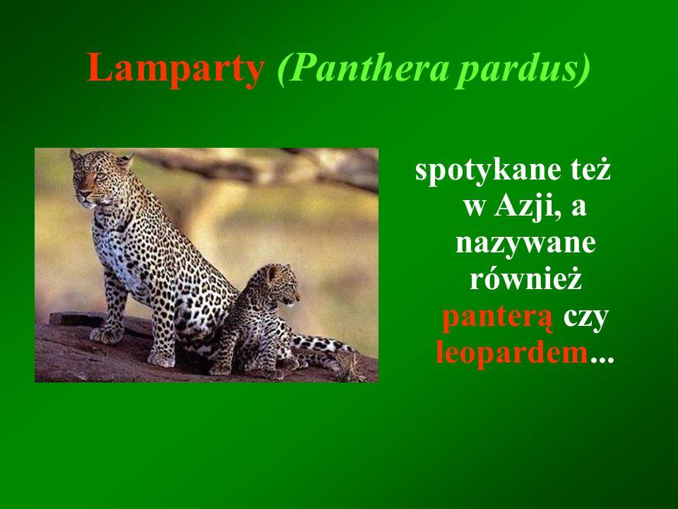 spotykane też w Azji, a nazywane również panterą czy leopardem... Lamparty (Panthera pardus)