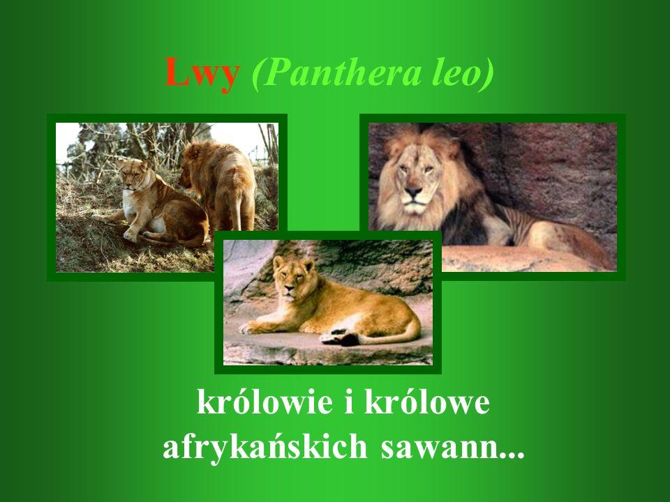 Lwy (Panthera leo) królowie i królowe afrykańskich sawann...