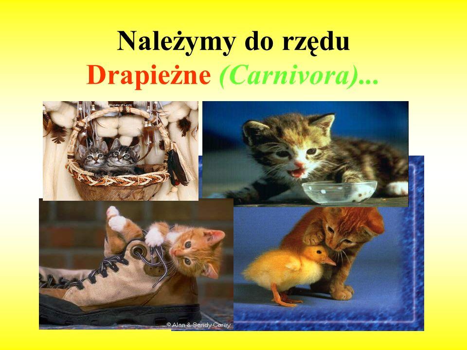 Należymy do rzędu Drapieżne (Carnivora)...