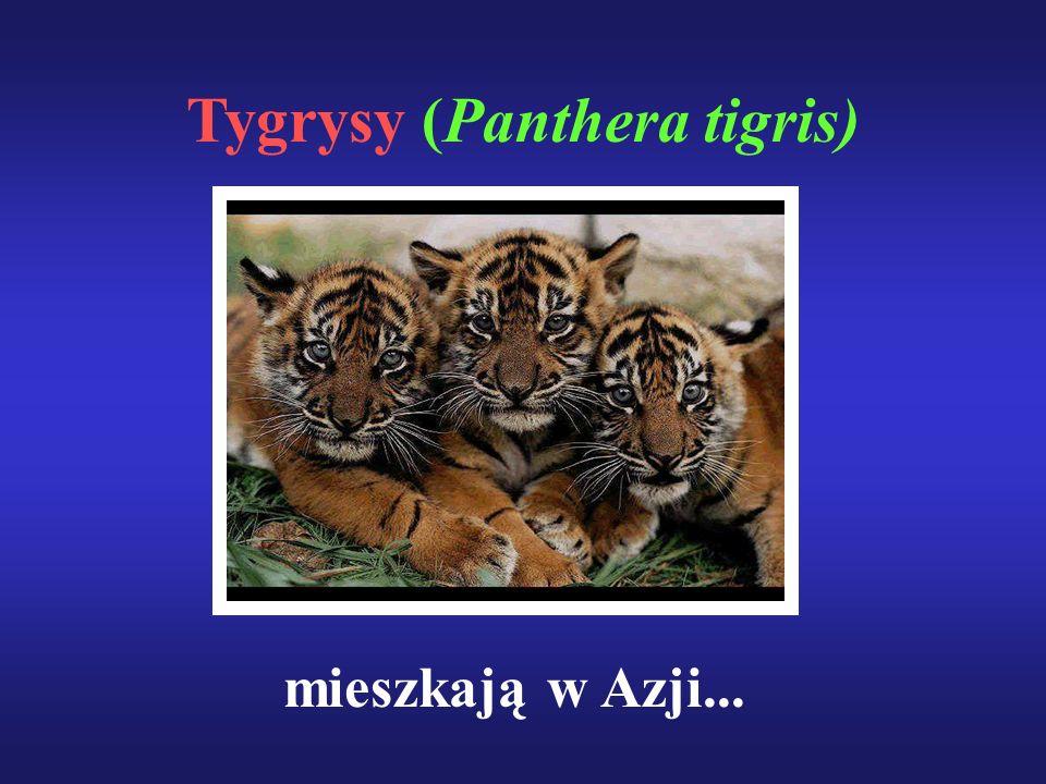Tygrysy (Panthera tigris) mieszkają w Azji...