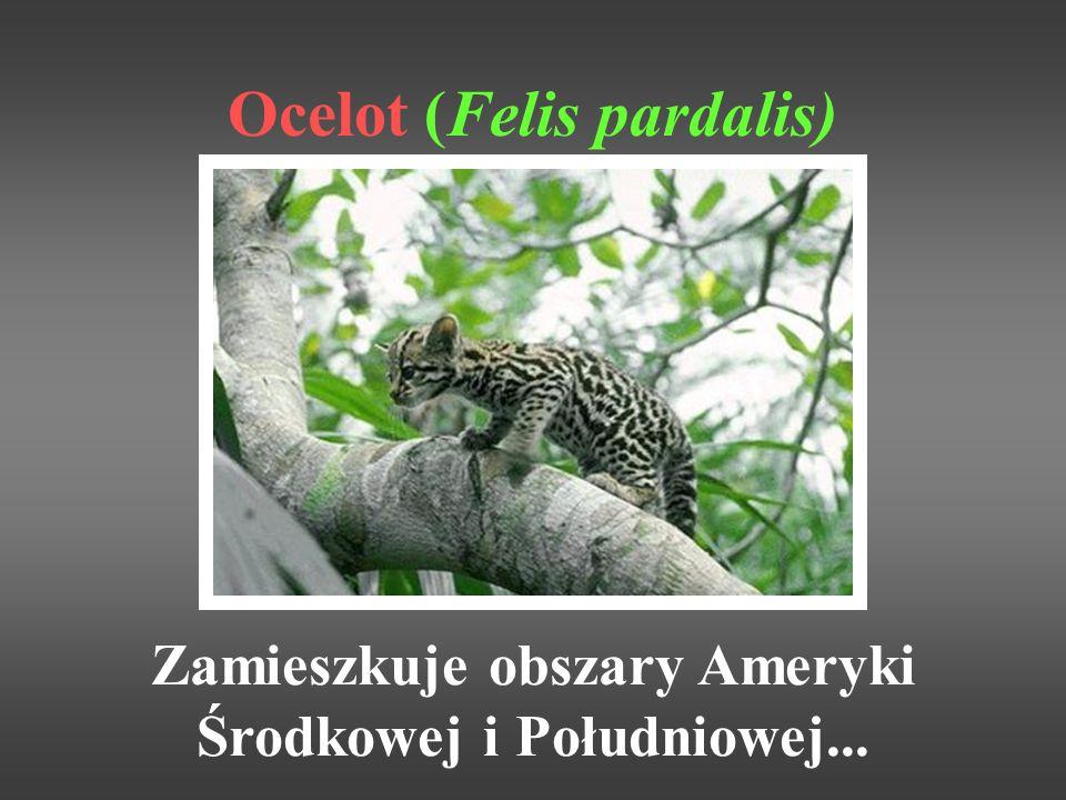 Ocelot (Felis pardalis) Zamieszkuje obszary Ameryki Środkowej i Południowej...