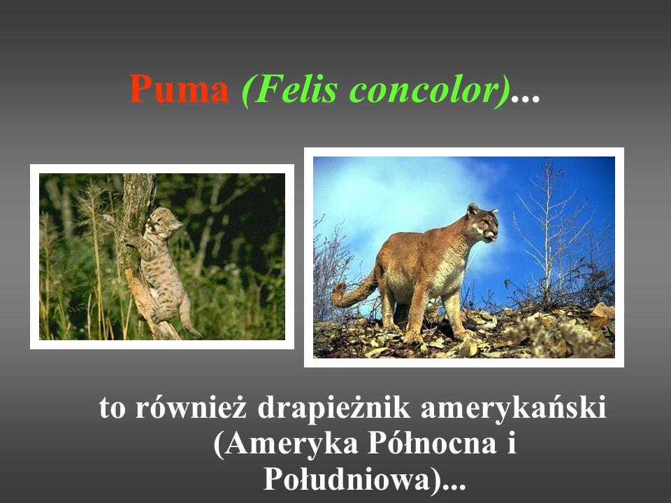 Puma (Felis concolor)... to również drapieżnik amerykański (Ameryka Północna i Południowa)...