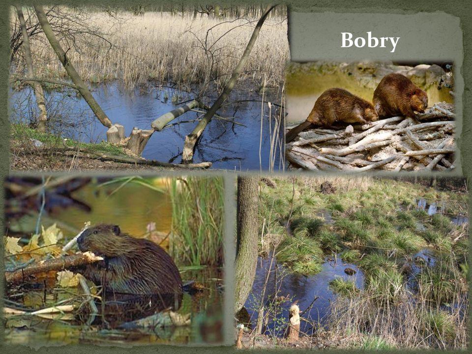 Bobry