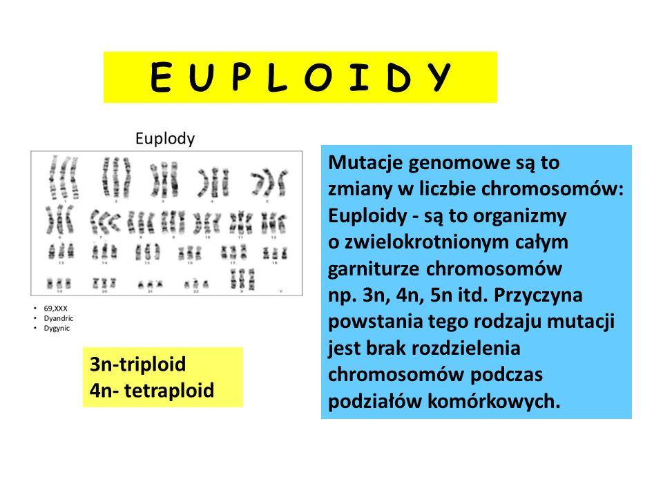 E U P L O I D Y Mutacje genomowe są to zmiany w liczbie chromosomów: Euploidy - są to organizmy o zwielokrotnionym całym garniturze chromosomów np. 3n