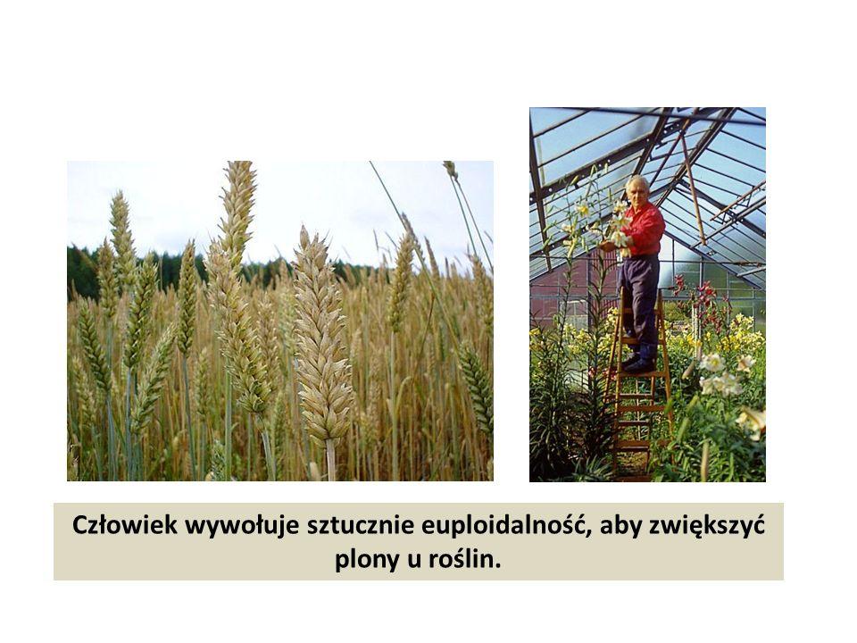 Człowiek wywołuje sztucznie euploidalność, aby zwiększyć plony u roślin.