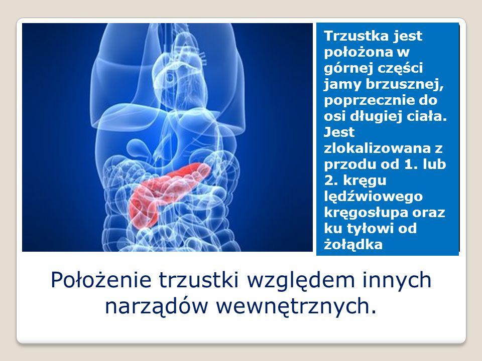 Położenie trzustki względem innych narządów wewnętrznych.