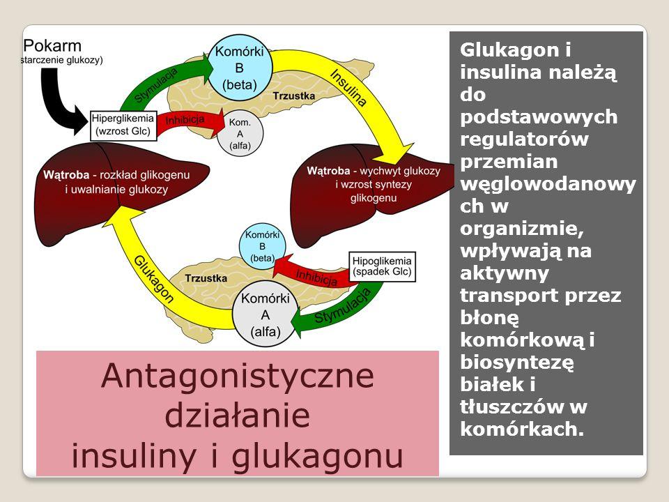 Antagonistyczne działanie insuliny i glukagonu Glukagon i insulina należą do podstawowych regulatorów przemian węglowodanowy ch w organizmie, wpływają na aktywny transport przez błonę komórkową i biosyntezę białek i tłuszczów w komórkach.