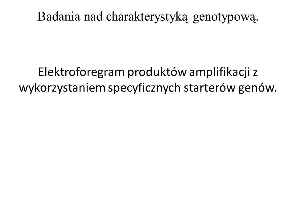 Badania nad charakterystyką genotypową. Elektroforegram produktów amplifikacji z wykorzystaniem specyficznych starterów genów.