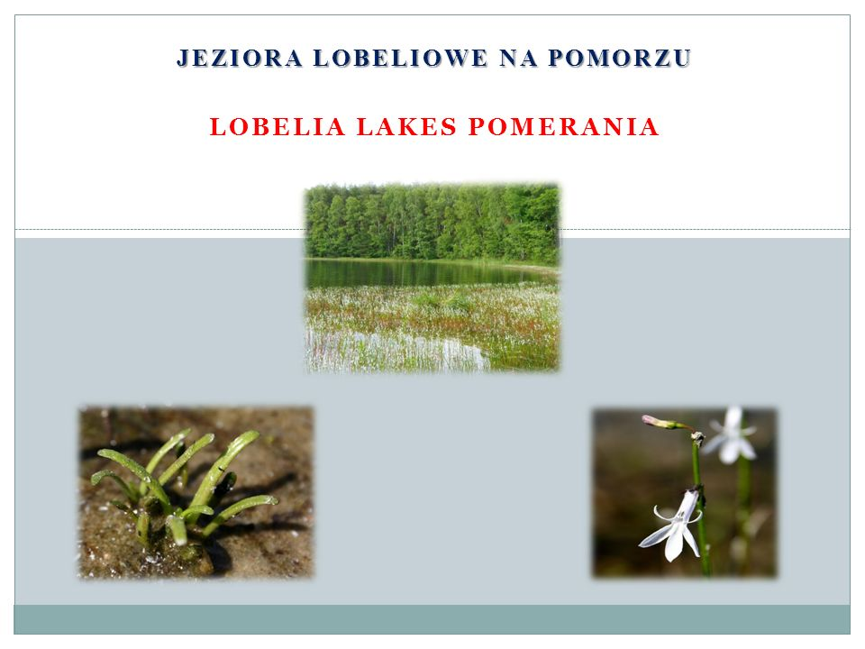 JEZIORA LOBELIOWE NA POMORZU LOBELIA LAKES POMERANIA
