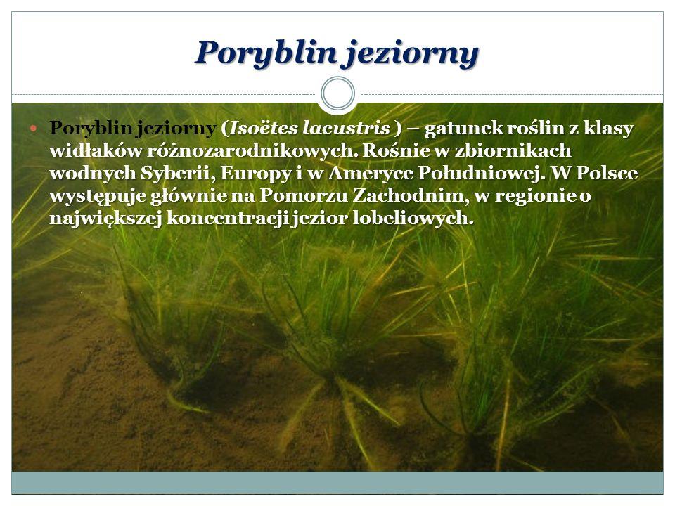 Poryblin jeziorny (Isoëtes lacustris ) – gatunek roślin z klasy widłaków różnozarodnikowych. Rośnie w zbiornikach wodnych Syberii, Europy i w Ameryce