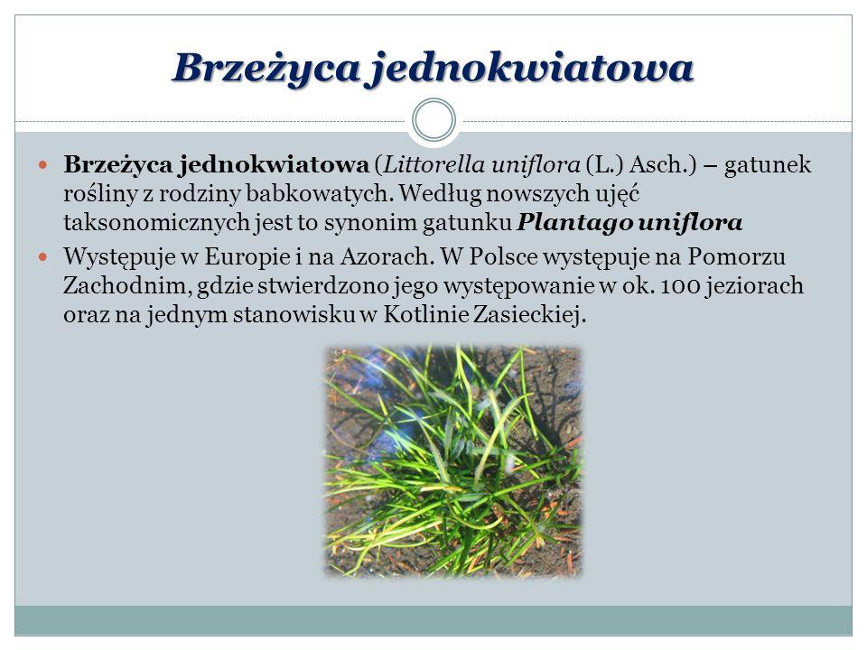 Brzeżyca jednokwiatowa Brzeżyca jednokwiatowa (Littorella uniflora (L.) Asch.) – gatunek rośliny z rodziny babkowatych. Według nowszych ujęć taksonomi