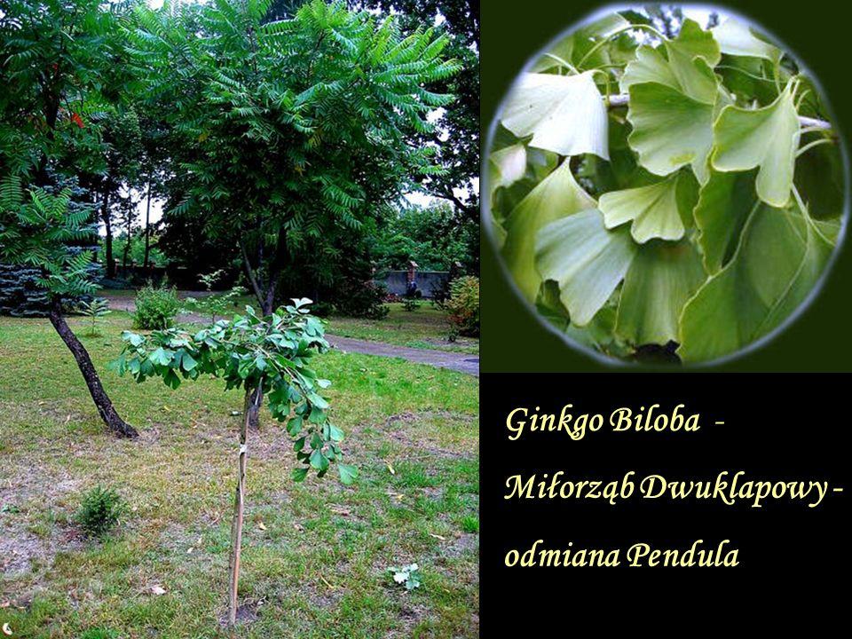 Ginkgo Biloba - Miłorząb Dwuklapowy - odmiana Pendula