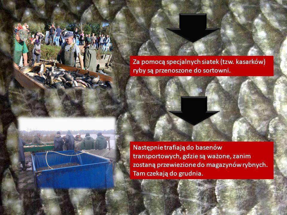 Za pomocą specjalnych siatek (tzw. kasarków) ryby są przenoszone do sortowni. Następnie trafiają do basenów transportowych, gdzie są ważone, zanim zos