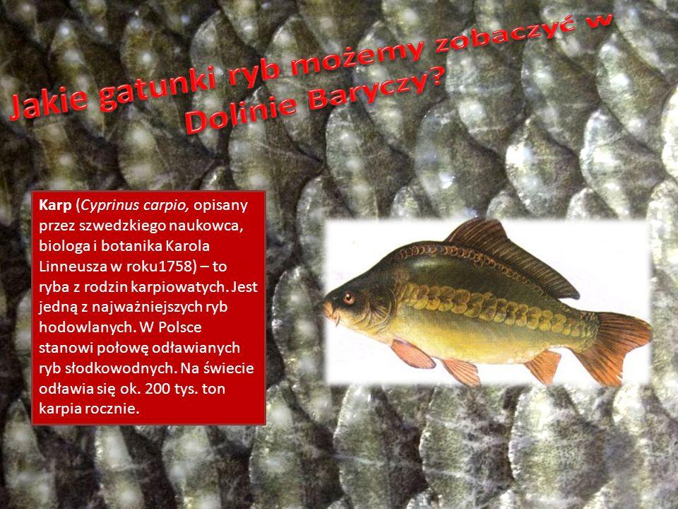 Karp (Cyprinus carpio, opisany przez szwedzkiego naukowca, biologa i botanika Karola Linneusza w roku1758) – to ryba z rodzin karpiowatych. Jest jedną