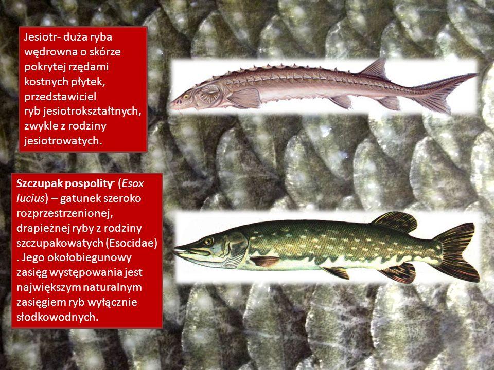 Jesiotr- duża ryba wędrowna o skórze pokrytej rzędami kostnych płytek, przedstawiciel ryb jesiotrokształtnych, zwykle z rodziny jesiotrowatych. Szczup