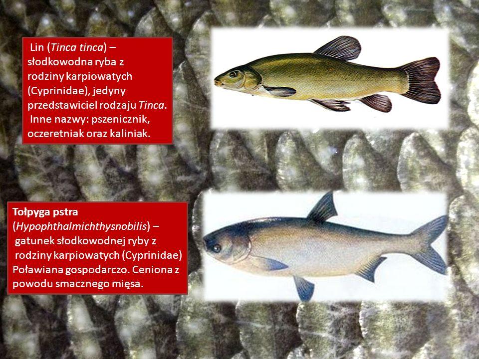 Lin (Tinca tinca) – słodkowodna ryba z rodziny karpiowatych (Cyprinidae), jedyny przedstawiciel rodzaju Tinca. Inne nazwy: pszenicznik, oczeretniak or