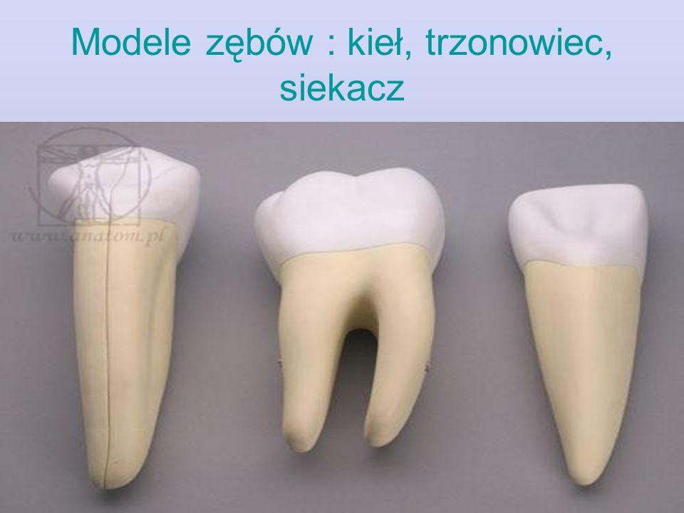 Modele zębów : kieł, trzonowiec, siekacz