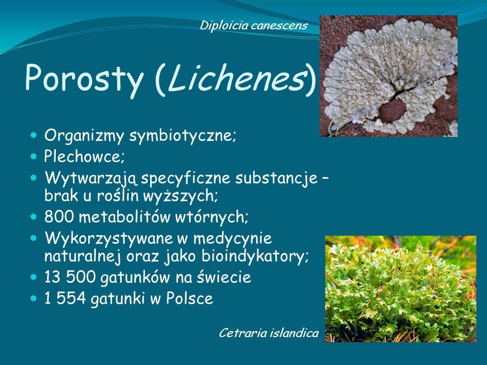 Porosty (Lichenes) Organizmy symbiotyczne; Plechowce; Wytwarzają specyficzne substancje – brak u roślin wyższych; 800 metabolitów wtórnych; Wykorzysty