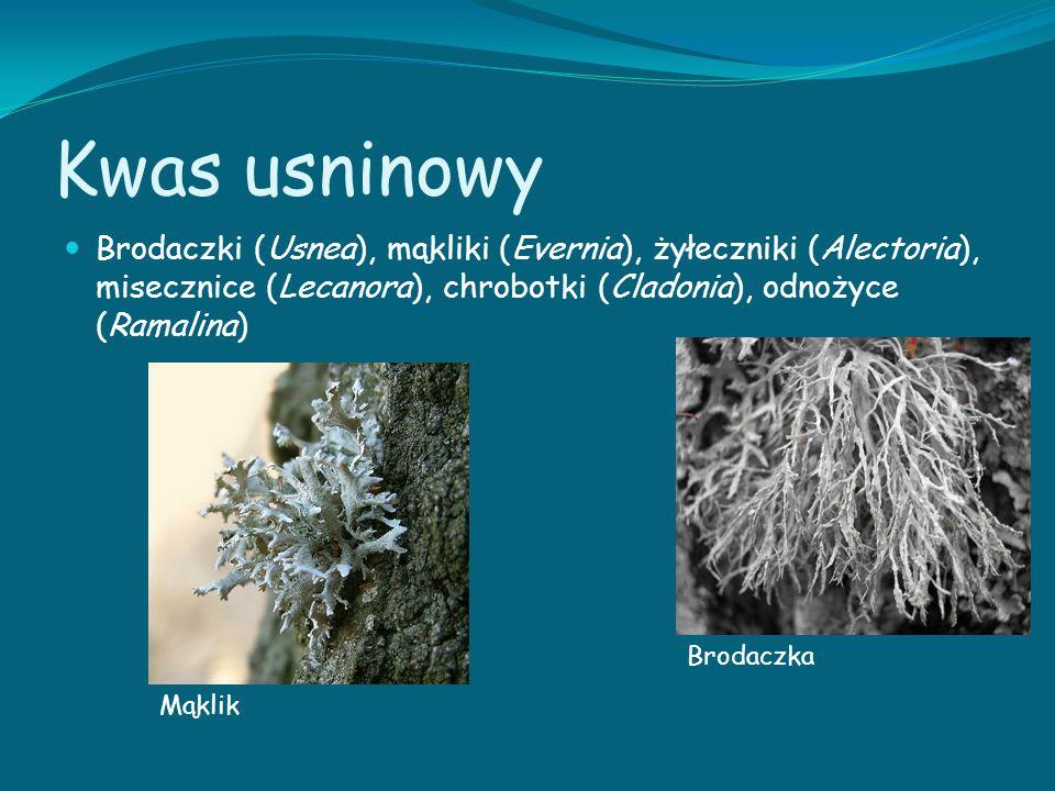 Kwas usninowy Brodaczki (Usnea), mąkliki (Evernia), żyłeczniki (Alectoria), misecznice (Lecanora), chrobotki (Cladonia), odnożyce (Ramalina) Brodaczka