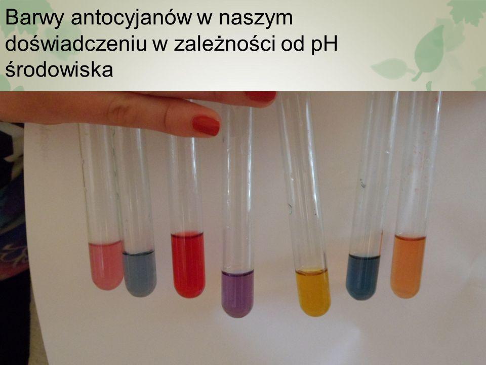 Barwy antocyjanów w naszym doświadczeniu w zależności od pH środowiska