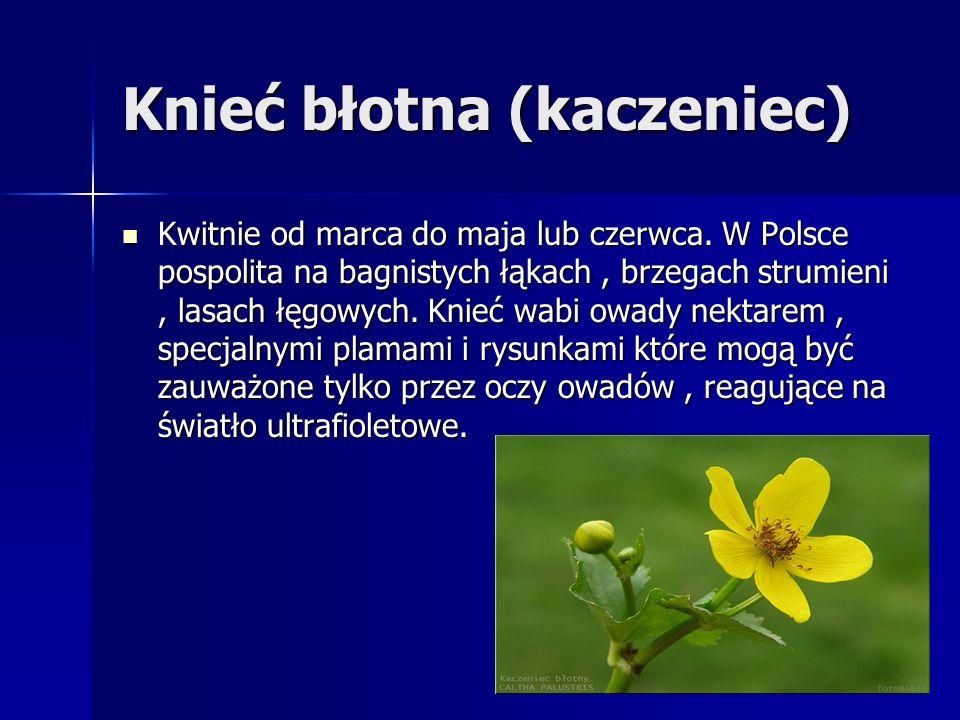 Knieć błotna (kaczeniec) Kwitnie od marca do maja lub czerwca. W Polsce pospolita na bagnistych łąkach, brzegach strumieni, lasach łęgowych. Knieć wab