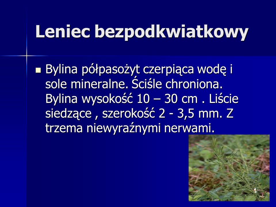 Leniec bezpodkwiatkowy Bylina półpasożyt czerpiąca wodę i sole mineralne. Ściśle chroniona. Bylina wysokość 10 – 30 cm. Liście siedzące, szerokość 2 -