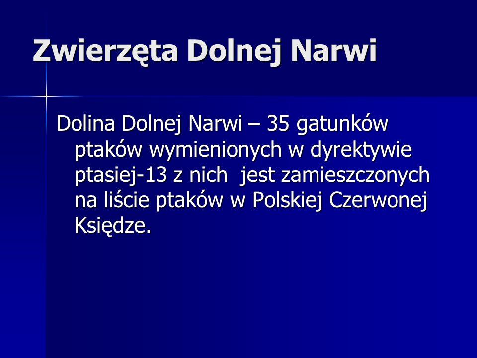 Zwierzęta Dolnej Narwi Dolina Dolnej Narwi – 35 gatunków ptaków wymienionych w dyrektywie ptasiej-13 z nich jest zamieszczonych na liście ptaków w Polskiej Czerwonej Księdze.