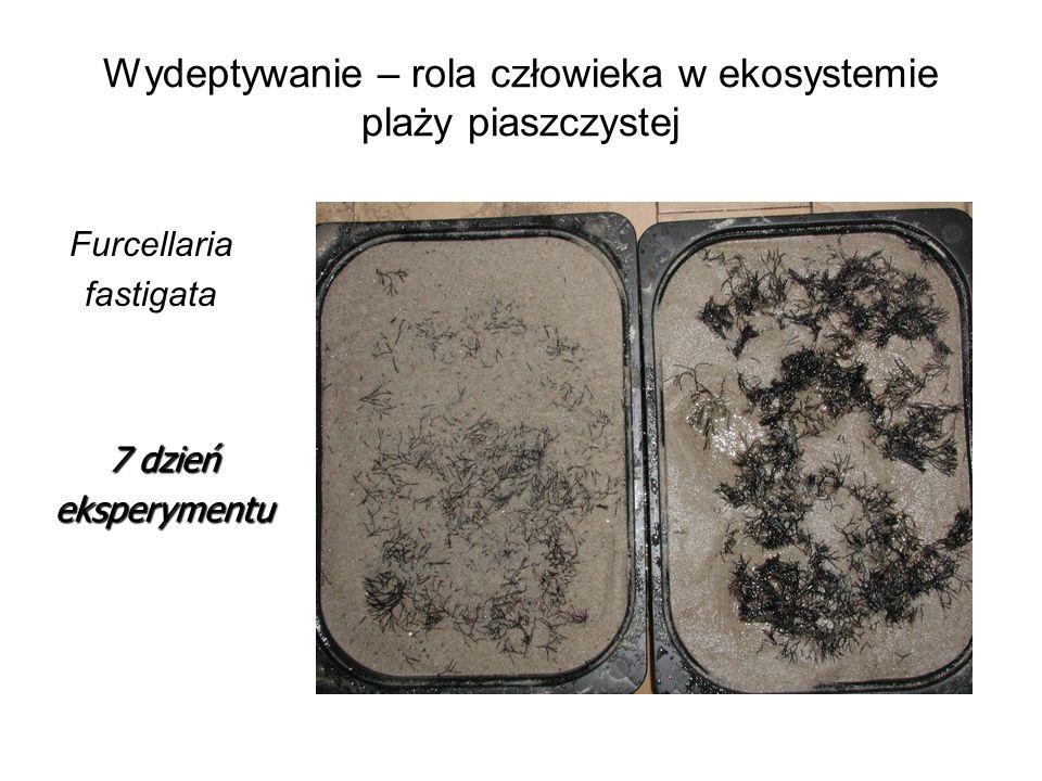 Wydeptywanie – rola człowieka w ekosystemie plaży piaszczystej Furcellaria fastigata 7 dzień eksperymentu